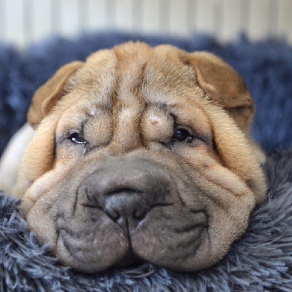 cutest puppy in the world india prem aneeta prem aneeta